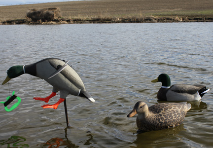 Duck Decoys- Flutter-Wing & Full Curls with Deadly Duck Blind along edge